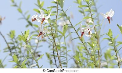 Cranberry flowers - Close up cranberry flowers blossoming...