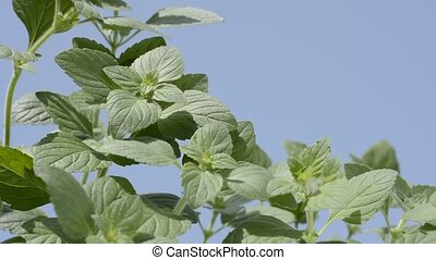 Lesser calamint plants - Green lesser calamint plants under...