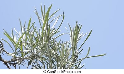 Curry plant - Silver green curry plant leaves under blue sky