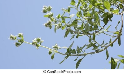 Sideways sweet marjoram flowers under blue sky