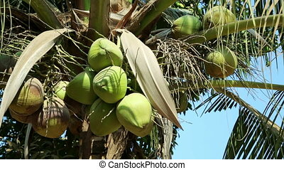 Close up of natural organic coconut tree