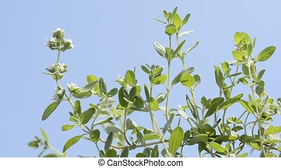 Sweet marjoram plant - Sweet marjoram flower and leaves...