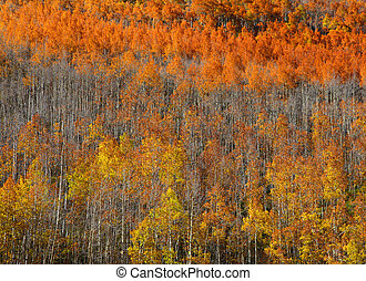 Carpet of Aspen trees in autumn time