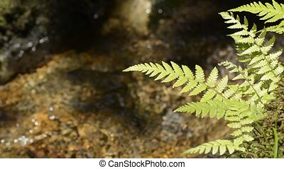 Fern leaves - Close up fern leaves in front of small brook