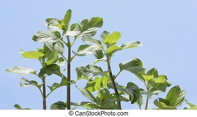 Water mint plants bathed in sunlight under blue sky