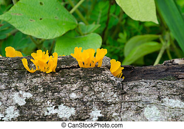 Craterellus aureus Berk.Et Curt. Growing on rotten wood -...