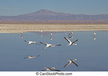 San Pedro de Atacama - Flamingos at the Salar de Atacama...