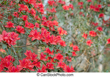 Azalea blooming on tree (Rhododendron simsii Planch