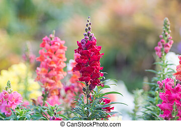 Snap dragon (Antirrhinum majus) blooming in garden