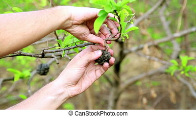 Showing coffee beans on tree by hand, close up