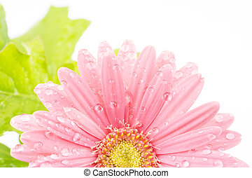 African daisy flower - Half of the pink african daisy flower...