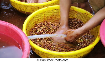 farmers washing recently collected coffee beans before...