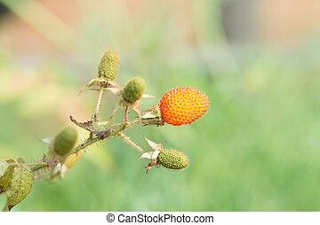 Rubus sorbifolius Maxim.