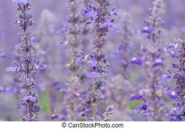 Salvia pratensis  - Salvia pratensis