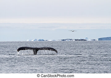 humpback whale tail diving in the waters of the Southern Ocean o