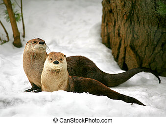 Otter - Two otters in winter forest.