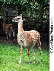 Guanako (Lama guanicoe) - Portrait of a Guanako llama (Lama...
