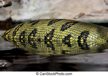 Green anaconda (Eunectes murinus) - Detail of the Green...