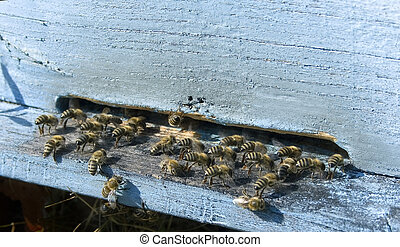 bees - industrious bees in front of a beehive