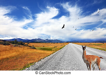 Curious llama watching the road - Above the dirt road on the...