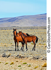 The herd of magnificent bay mustang - Bay horse with a foal...