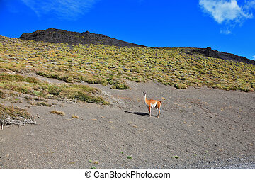The trusting vicuna - small camel - Magic country Patagonia...