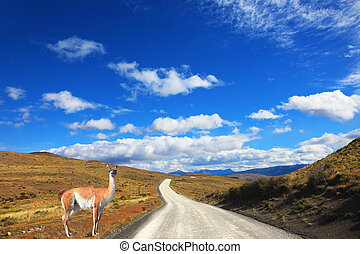 The trusting guanaco - small camel - Magic country Patagonia...
