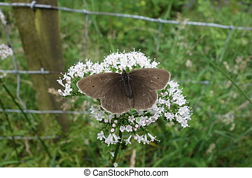 Ringlet Butterfly - Brown ringlet butterfly Aphantopus...