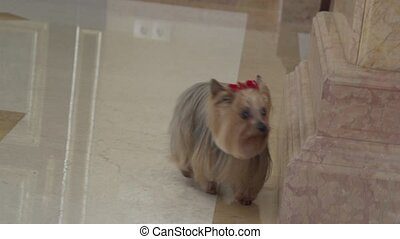 Yorkshire Terrier - little Yorkshire terrier running up the...