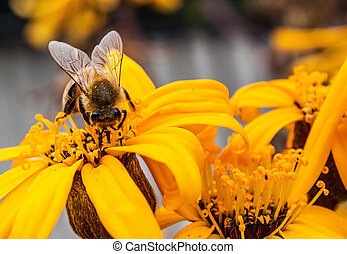 Brown eyed daisy with bee. - a brown eyed daisy flower with...