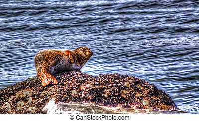Harbor Seal on rock.