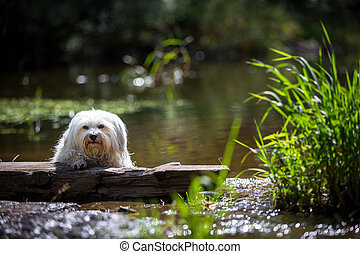 Dog on a lake - Small white dog lies on a piece of wood on a...
