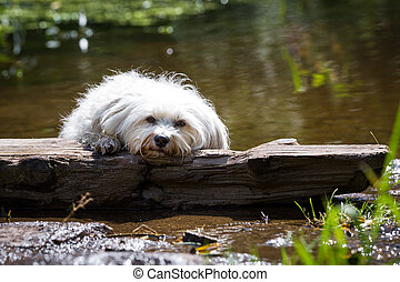 Dog in distress - Small white dog lies on a piece of wood on...