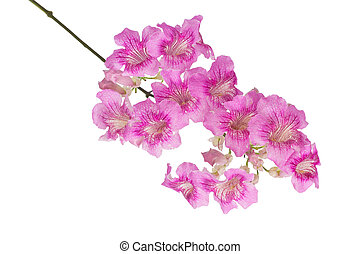 Pink trumpet vine isolated on white background