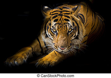 Sumatran Tiger Roaring - Closeup portrait of a male Sumatran...