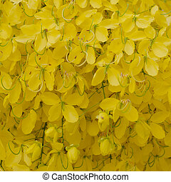 Cassia fistula flower background - Cassia fistula flower...