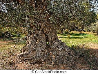 tronco, antigas, azeitona, árvore, Ao ar livre