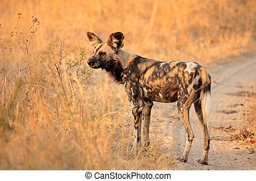 African wild dog or painted hunting dog Lycaon pictus,...
