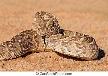 Defensive puff adder - A puff adder Bitis arietans in...