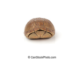 Turtle Shell - A turtle isolated on a white background.