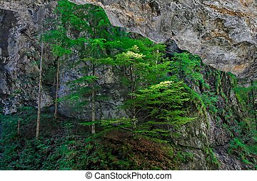 Pine trees cling to rock in dark canyon - Pine trees cling...