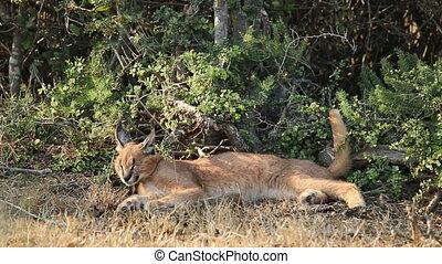Caracal in natural habitat - A caracal Felis caracal resting...