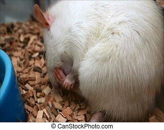 rat - little rat