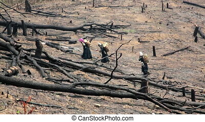 Akha Villagers Carry Back and Walking in Burnt Forest, Laos