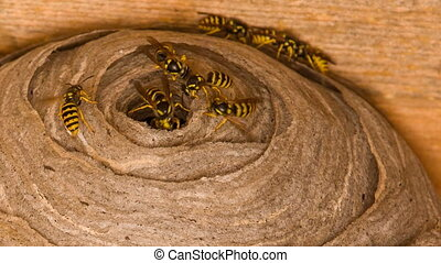 Wasp's nest - Closeup view of wasps and huge nest