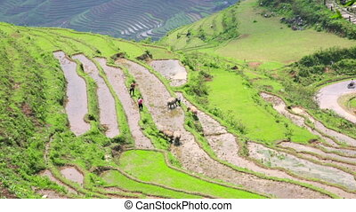gorgeous farm fields, rice paddy terraces, Sapa, Vietnam