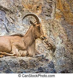 West caucasian tur goat in nature.