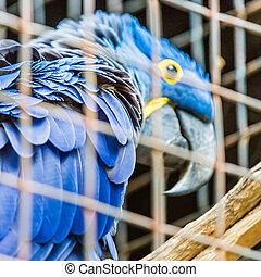 azul, jacinto, papagallo, loro, zoo