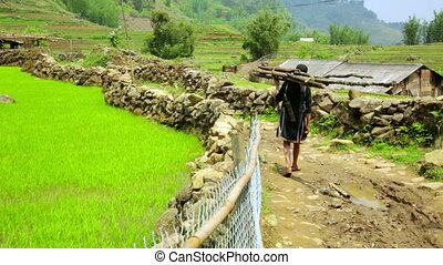farmer carry woods on back, rice paddy terraces, Vietnam -...