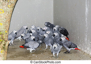 Confiscated gray parrots (Psittacus erithacus) - Confiscated...